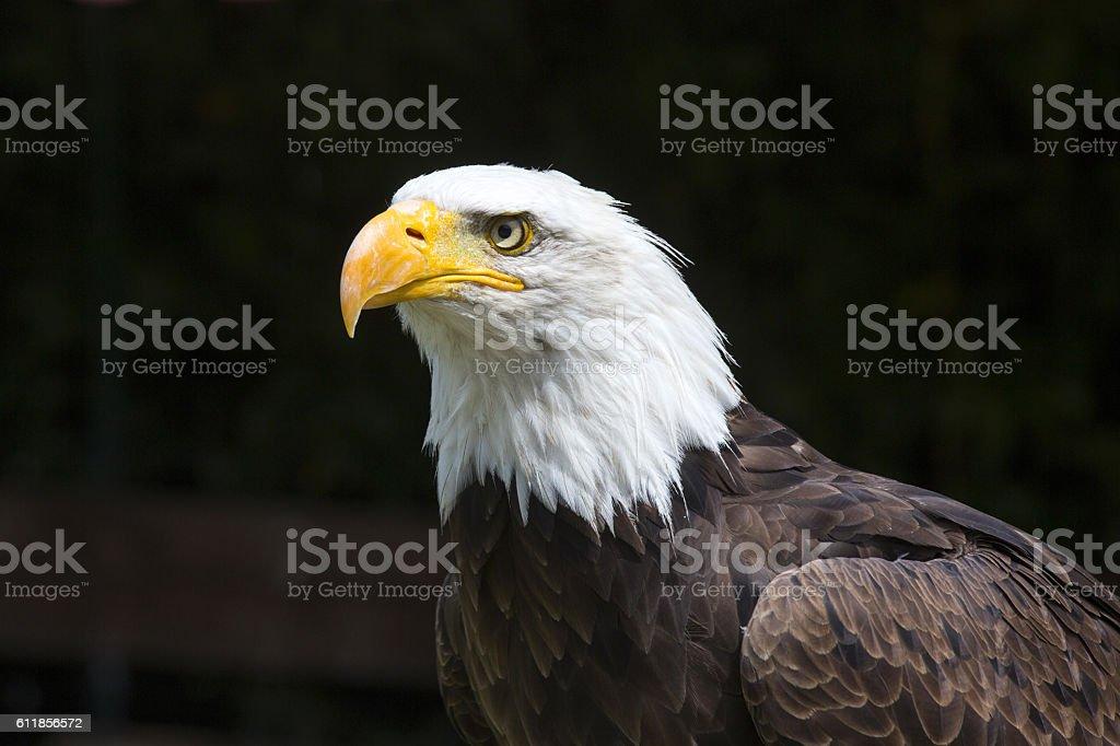 Beautiful north american bald eagle stock photo