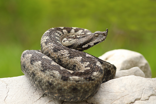 beautiful nosed viper on a rock ( Vipera ammodytes, image taken in natural habitat on a wild animal )
