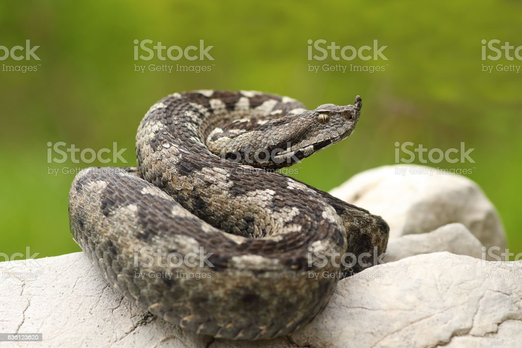 beautiful nosed viper on a rock stock photo