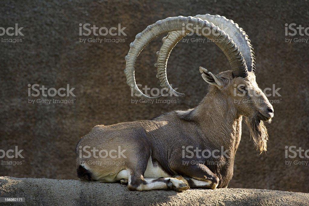 Beautiful Nubian Ibex stock photo