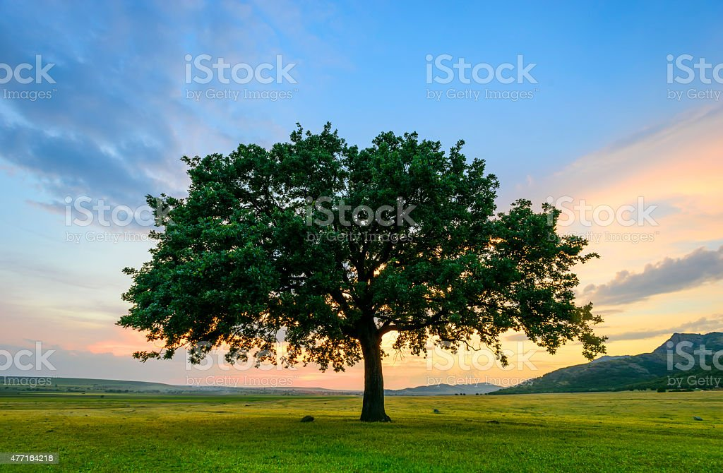 Beautiful Oak at the sunset stock photo