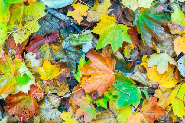 Superbe chêne feuilles sur l'arbre en automne - Photo