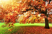 Tranquil autumn scenery showing a beautiful oak tree with colorful leaves standing on a meadow in a park, with soft light and warm sun flare