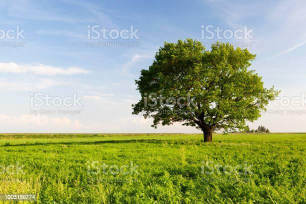 Photo of beautiful oak tree