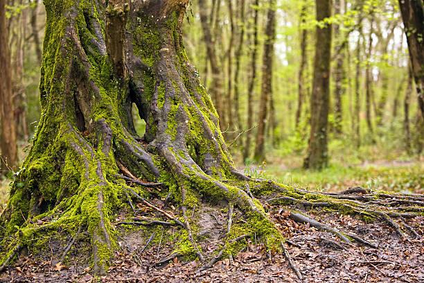 beautiful oak tree trunk stock photo