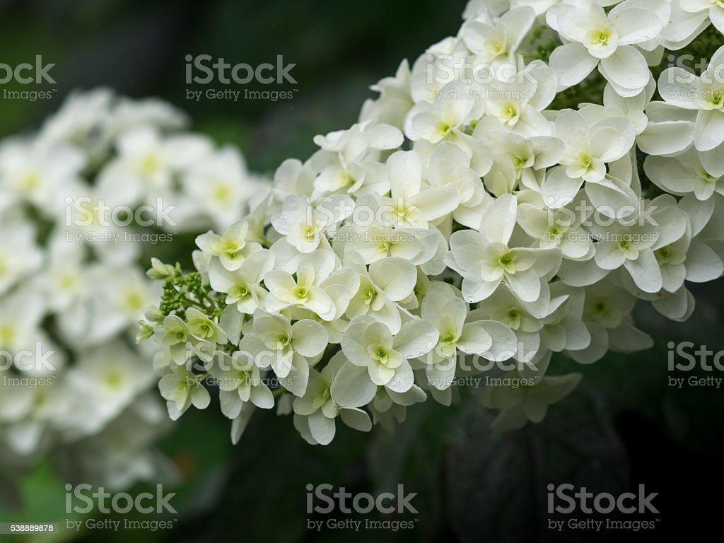 Beautiful Oakleaf hydrangea blooming in  rainy season stock photo