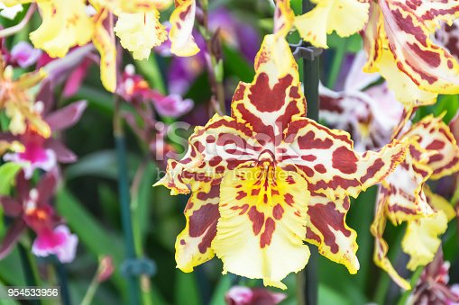 Beautiful odontoglossum orchid with yellow,brown and white petals pattern spot on flower growing in greenhouse with background blurry purple flower. . This orchid has teeth-like calluses mostly fond in Guyana. agriculture idea concept design.