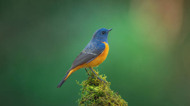 Beautiful of Bird Exotic blue bird, the Blue-fronted Redstart (Phoenicurus frontalis) perching on top of the wooden stick on blur green background,colourful bird,Northern Thailand finch stock pictures, royalty-free photos & images