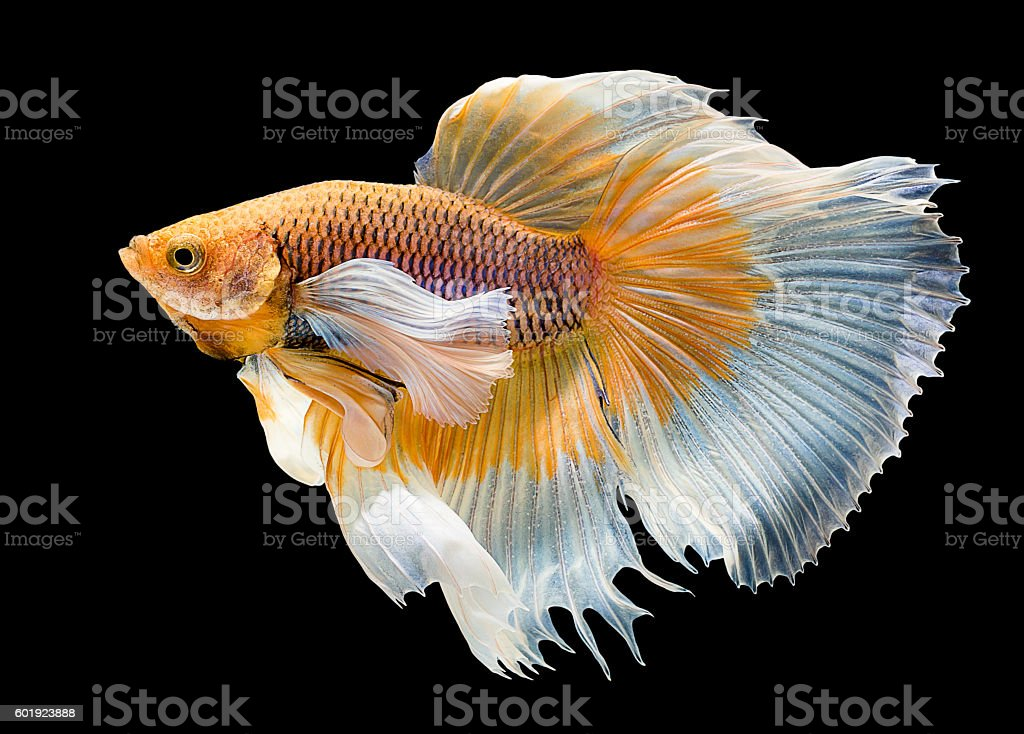 beautiful of fighting fish stock photo