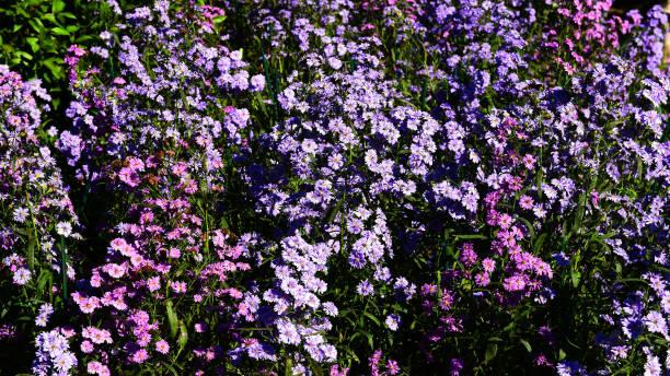 Beautiful of group purple blooming Chrysanthemums flowers – zdjęcie