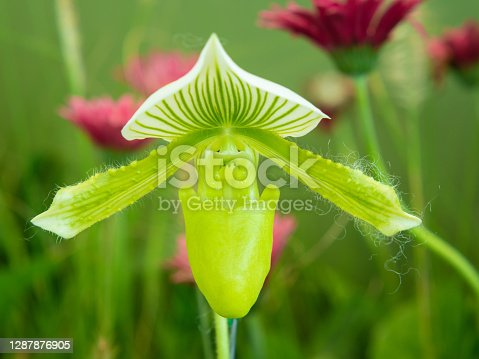 Paphiopedilum green coral orchid as lady's slipper orchid as the lip of the flower resembles a ladies shoe.