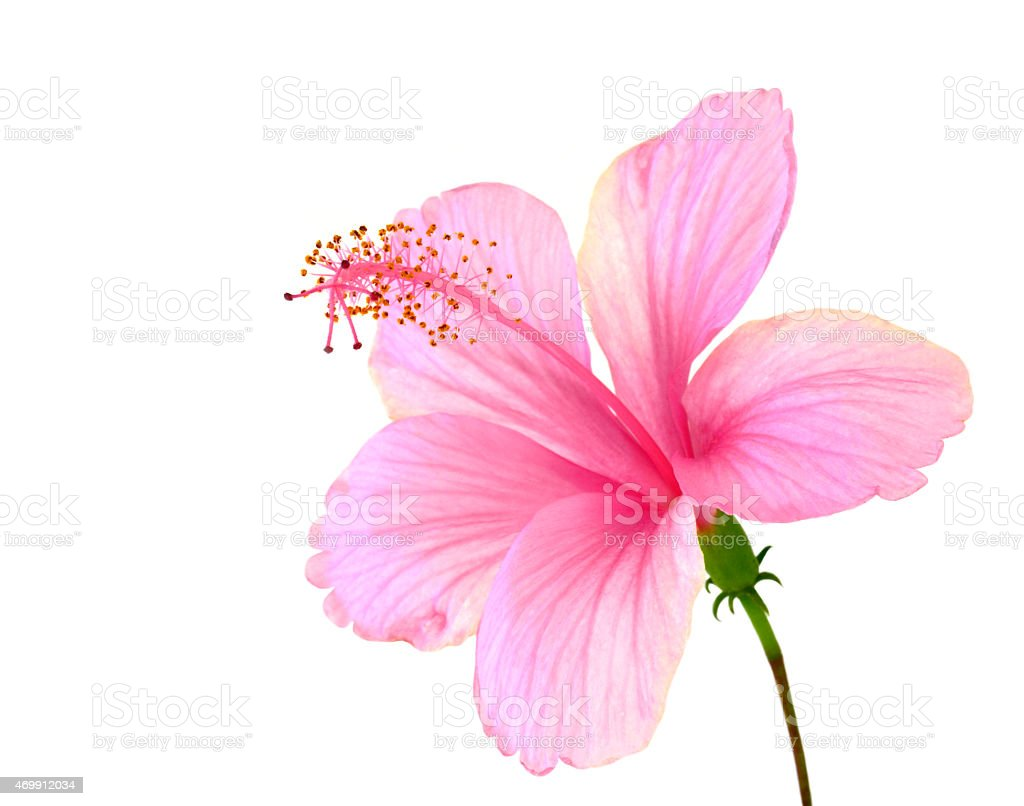 Beautiful Of Pink Hibiscus Flower With Fully Petals Details Iso