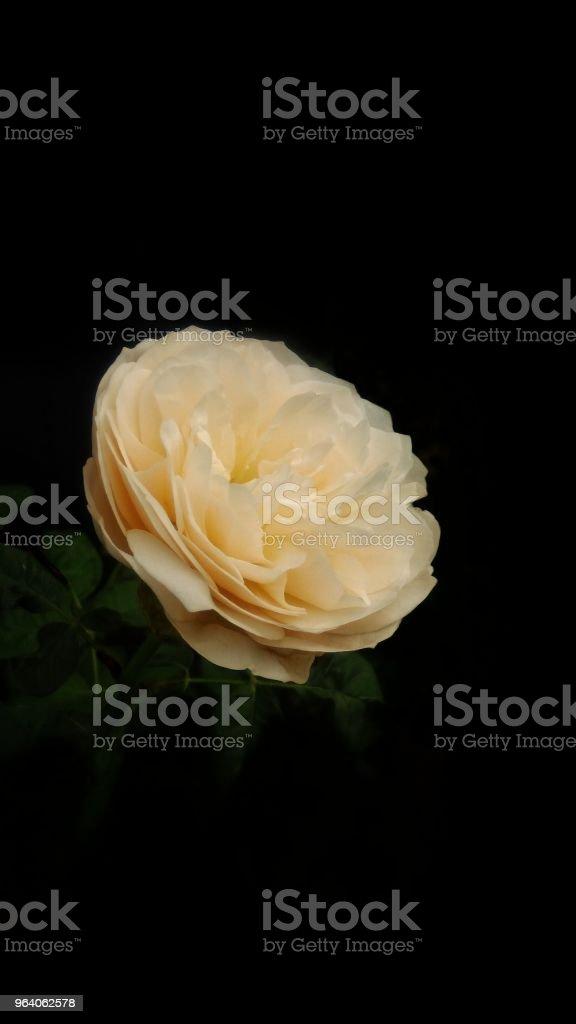 バラの美しい - カラー画像のロイヤリティフリーストックフォト