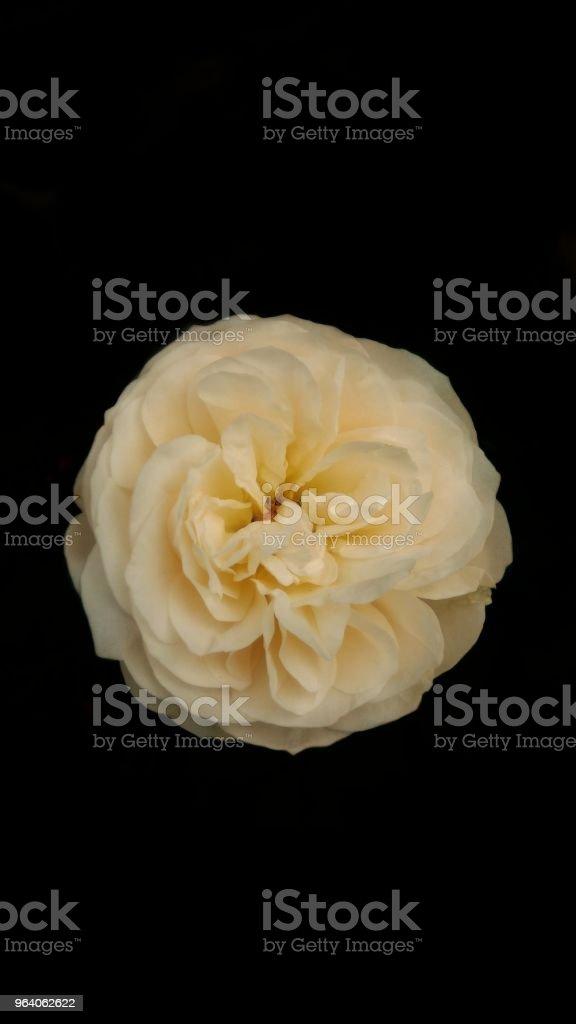 Beautiful of rose - Royalty-free Beauty Stock Photo