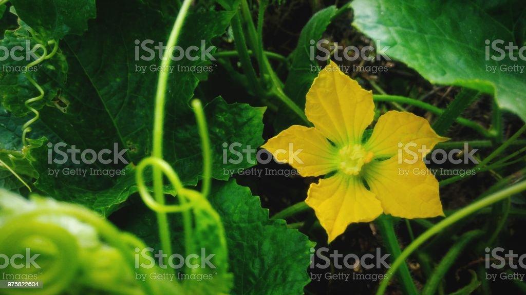 Schöne gelbe Blüten - Lizenzfrei Baumblüte Stock-Foto