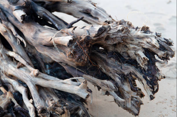 Beautiful old fallen sea washed tree trunk roots stock photo