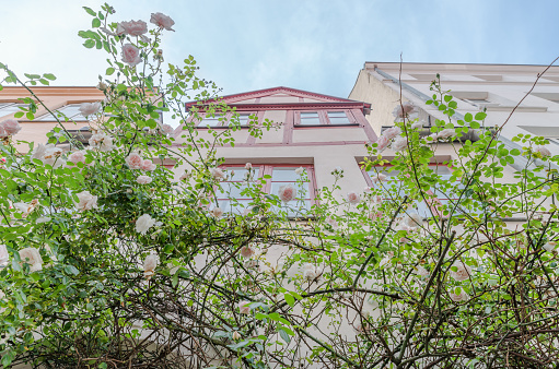 Beautiful old houses in Luebeck decorated with rose flower
