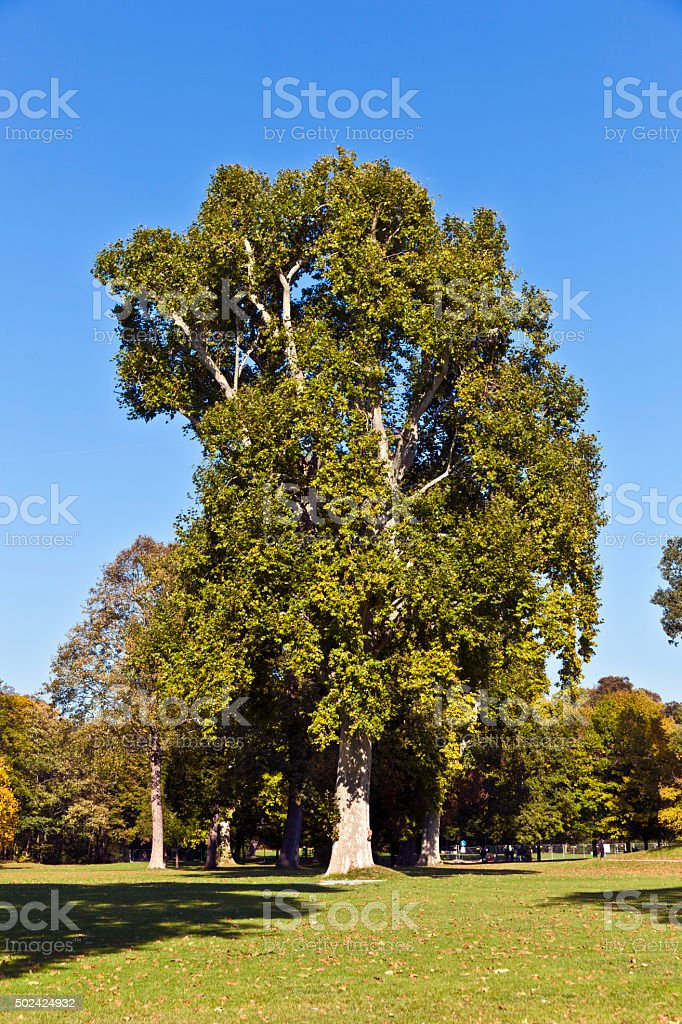 beautiful old plane tree in the Park stock photo