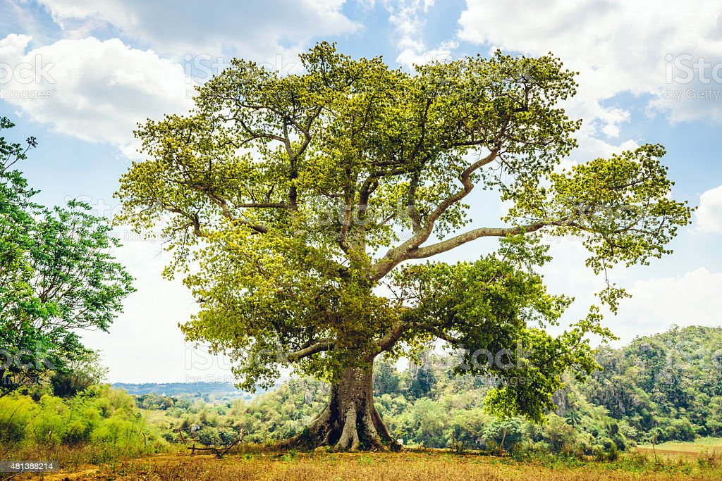 beautiful Old Tree stock photo