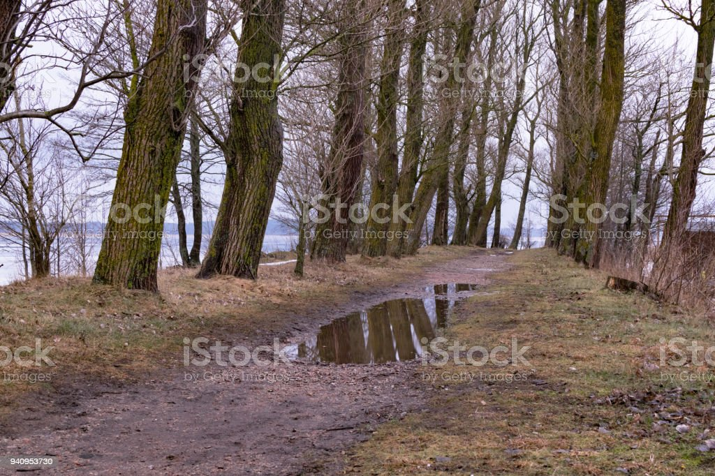 beautiful old trees alley with reflection on puddle. The way to water stock photo