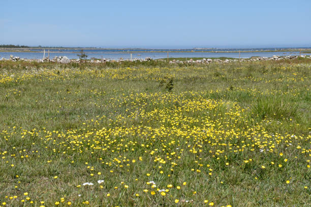 Beautiful open coastland with blossom yellow flowers stock photo