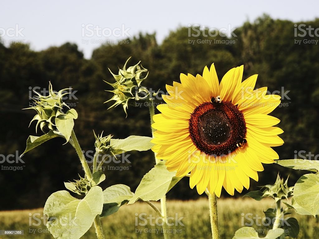 Beautiful Open Sunflower with Bees royalty-free stock photo