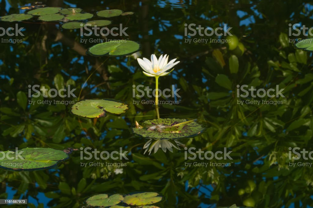 A beautiful, open, white and yellow lotus flower, arising out of a...
