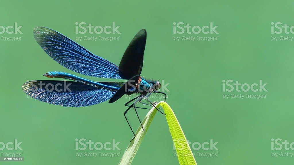 Beautiful opend Blue-winged Demoiselle Calopteryx virgo Dragonfly. stock photo