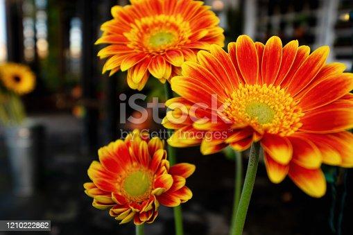 Gerber daisies in bright yellow and orange displayed