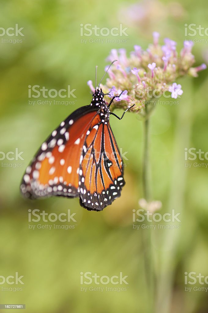 Beautiful orange butterfly feeding on pink flowers royalty-free stock photo