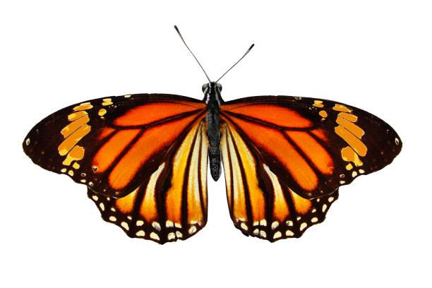 Beautiful orange butterfly isolated on white background picture id1130377135?b=1&k=6&m=1130377135&s=612x612&w=0&h=ac3j kjg1sv7r qmtu3scyqu5te9oqudu bow3i5eqq=