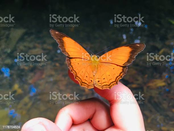 Beautiful orange butterfly on hand in the wood picture id1178704524?b=1&k=6&m=1178704524&s=612x612&h=ro31ux tbcrjxygdm22q0clbiw4c53c82ym4bck0gl0=