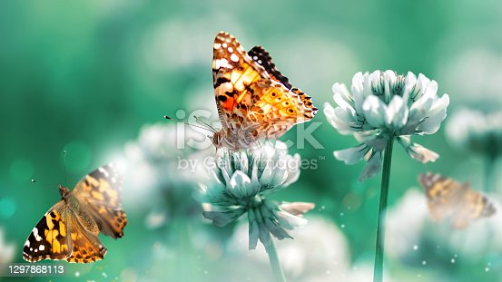 Beautiful orange butterfly on white clover flowers in a fairy garden. Summer spring bright green background. Macro composition.
