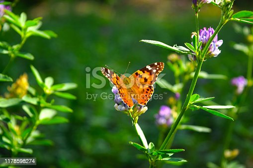 Beautiful orange butterfly Painted lady - Vanessa Cardui,macro flies on a  clover.Summer natural general look with flowers and butterfly.