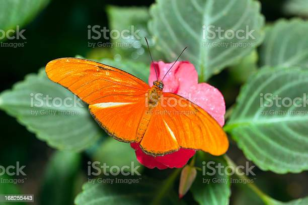 Beautiful orange butterfly picture id168255443?b=1&k=6&m=168255443&s=612x612&h=te4v 4olrjuebaygeeaouqa6wvpzetqiezfm2qk1dlo=