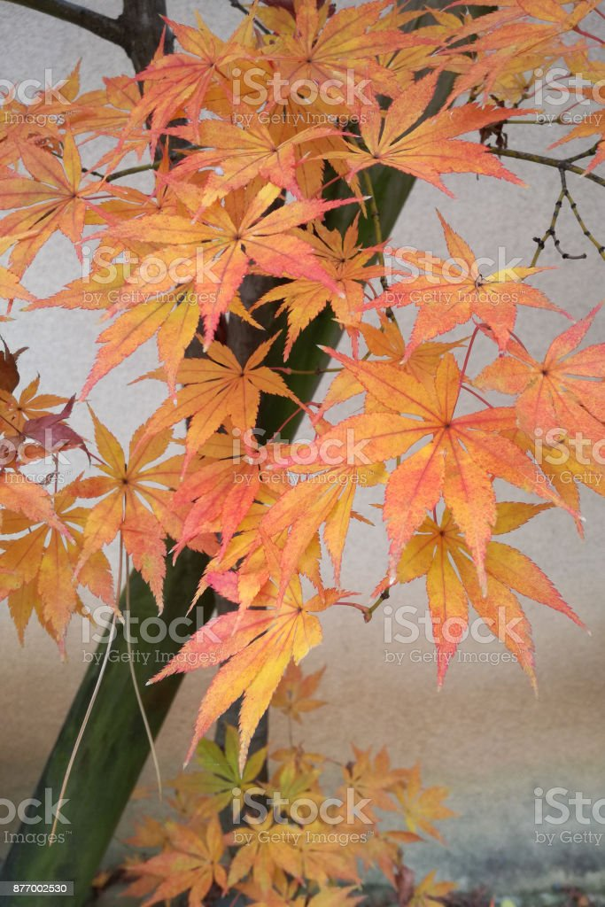 Beautiful orange color of maple leaves in autumn. stock photo
