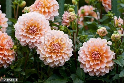 A picture of the beautiful orange dahlia.