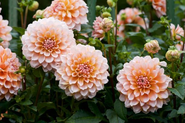 prachtige oranje dahlia in tuin - dahlia stockfoto's en -beelden