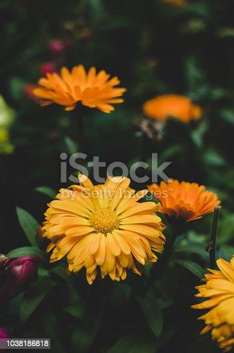 997750962 istock photo Beautiful orange flowers in full bloom 1038186818