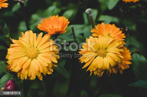 997750962 istock photo Beautiful orange flowers in full bloom 1038187314