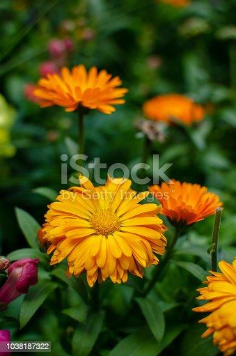 997750962 istock photo Beautiful orange flowers in full bloom 1038187322