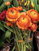 Beautiful orange herbaceous peony. Ð¡lose up view of Ranunculus aka buttercup flower, exquisite, with a rose-like blossoms. Persian buttercup
