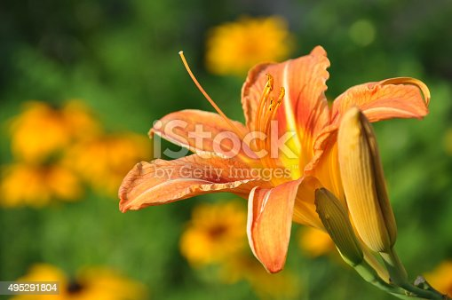 Beautiful orange lily (Hemerocallis fulva) in the garden
