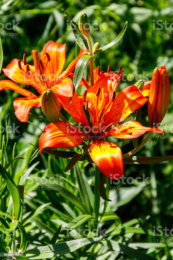 Beautiful orange lily on flowerbed in the garden - Royalty-free Backgrounds Stock Photo