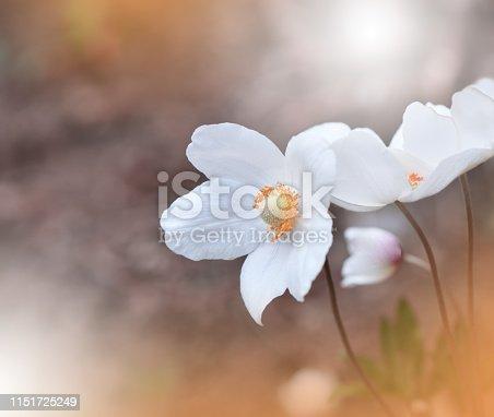 Nature,Flower,Anemone,White,Orange