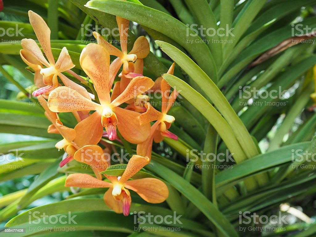 Beautiful orange orchid in garden stock photo