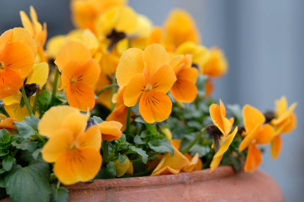 Beautiful orange pansies blooming in March Springtime flowers: A flower pot made of clay with beautiful orange pansies blooming in a garden in Germany, in March pansy stock pictures, royalty-free photos & images