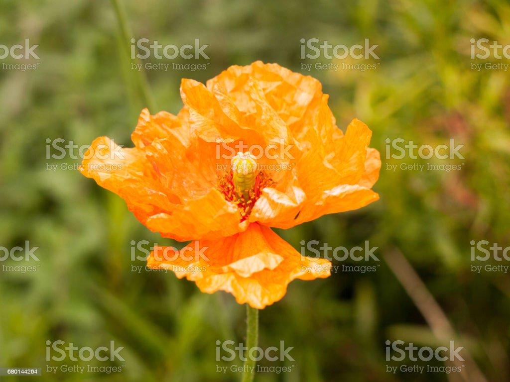 Beautiful Orange Poppy Flower Head Isolated Outside In Garden Spring