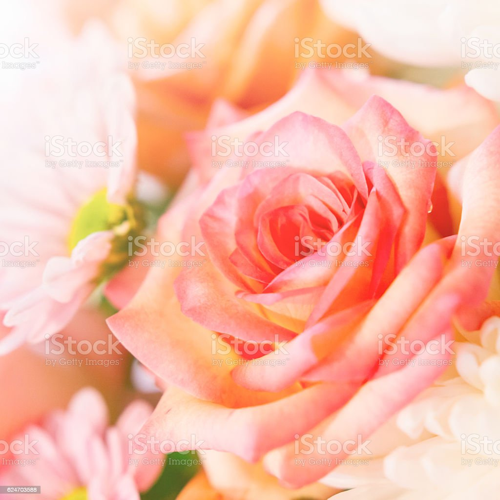 beautiful orange roses close-up stock photo
