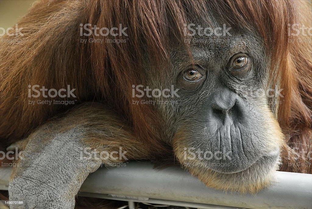 Beautiful orangutan looking into the camera Closeup portrait of a beautiful orangutan looking directly into the camera Animal Stock Photo